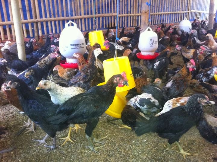 Ayam joper dewasa