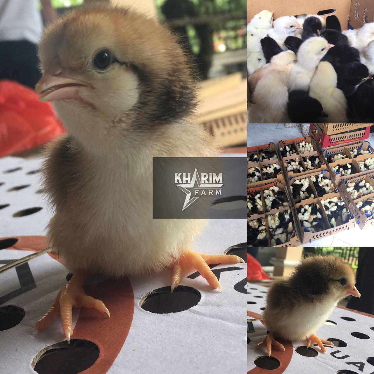 Cara Beternak Ayam Joper