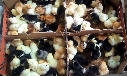Jual Bibit Ayam Joper √ Fresh √ Berkualitas