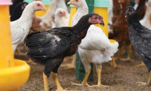 Pengepul Ayam Joper