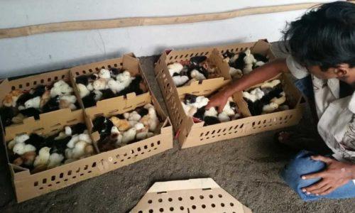 Ternak Doc Ayam Joper yang Menguntungkan