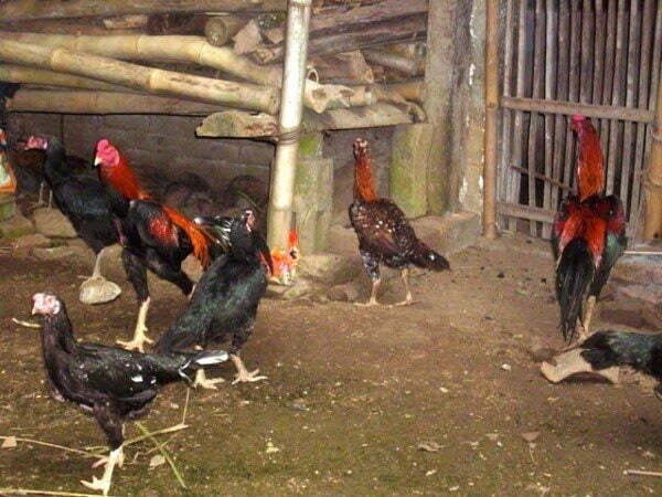ternak-ayam-kampung-umbaran-6633955