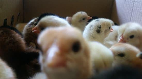 Pengertian Ayam Joper