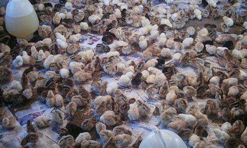Seluk Beluk Usaha Peternakan Ayam Arab Dan Peluangnya
