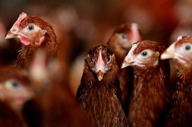 ayam telur siap bertelur