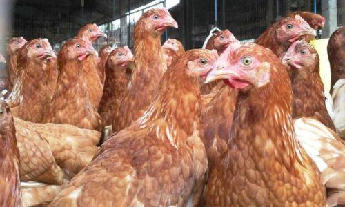 Jual Ayam Petelur