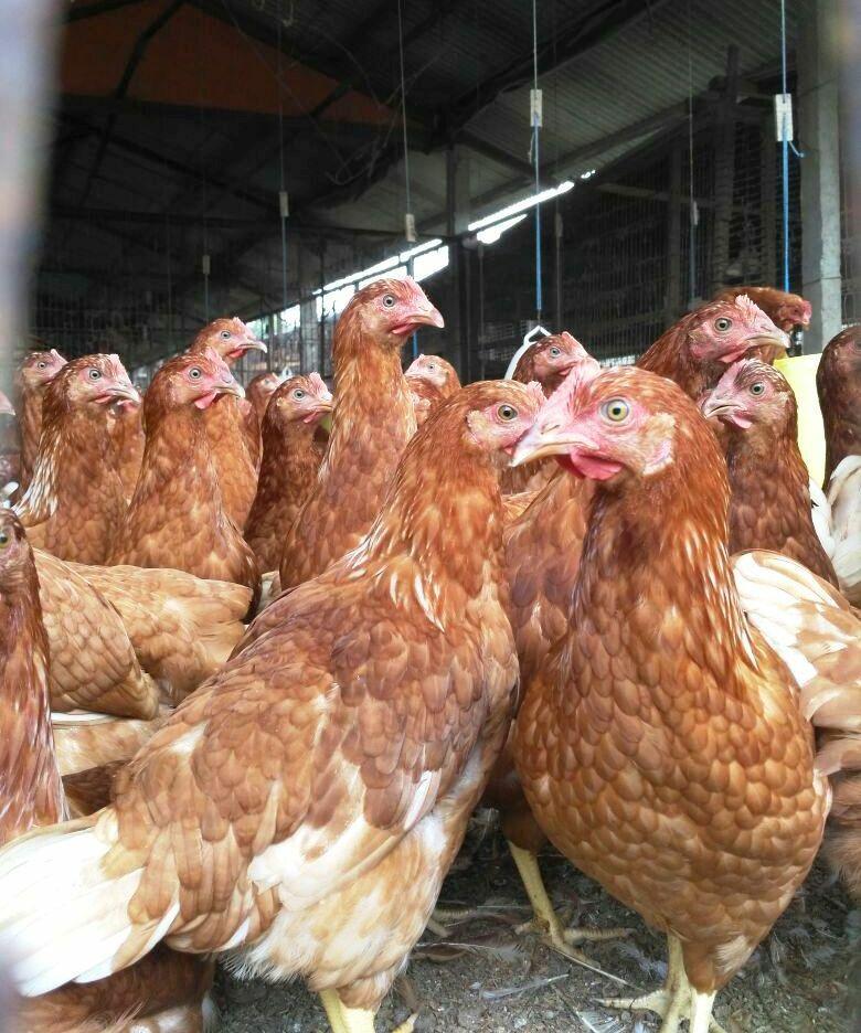 harga ayam petelur