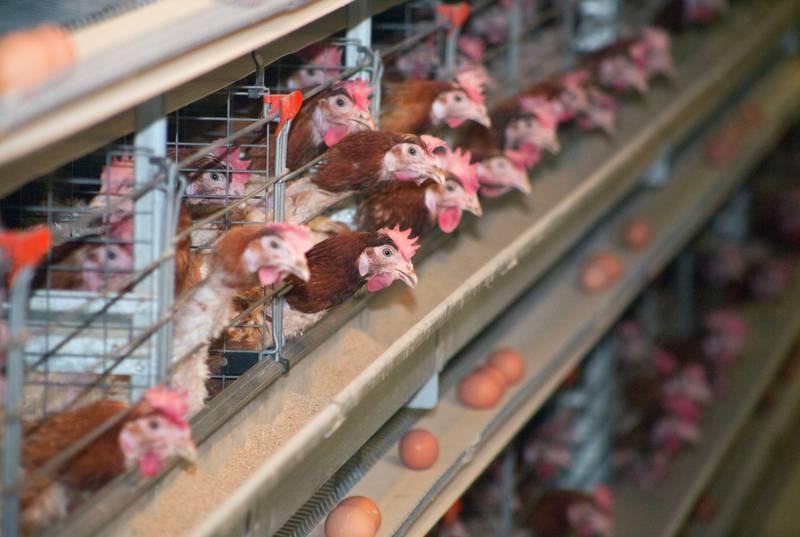 tempat-beli-ayam-petelur-yang-baik-dan-berkualitas