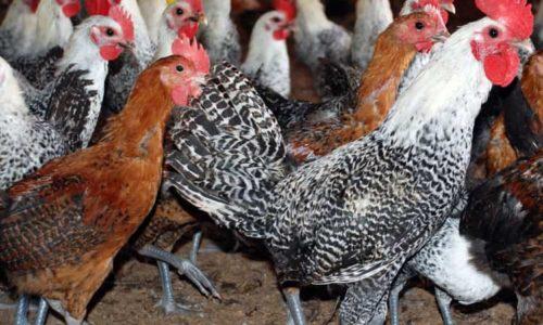 Cara Beternak Ayam Arab Petelur yang Menguntungkan