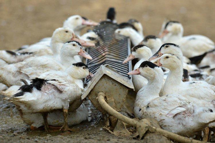 bisnis-ternak-bebek-padaging-1271977