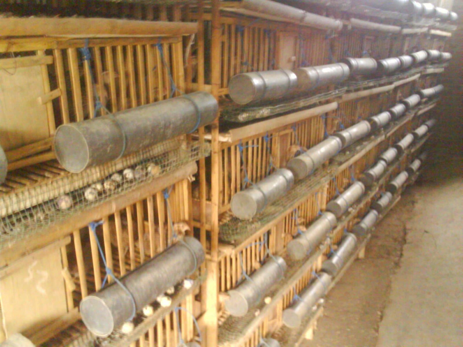 kandang-bambu-puyuh-petelur-5739163