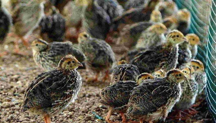 ternak-burung-puyuh-7858112