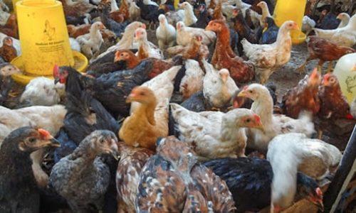 Harga Ayam Joper Umur 2 Bulan