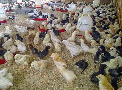 ayam-joper-umur-1-bulan-baru-min