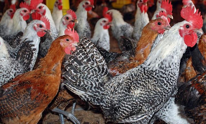 jual-ayam-arab-siap-telur-min