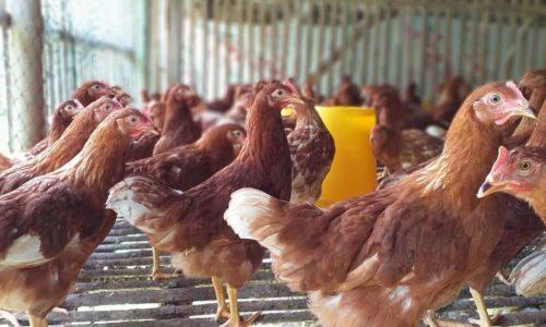 Harga Pullet Ayam Petelur Umur 16 Minggu