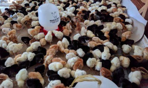 Jual Doc / Bibit Ayam Joper di Lampung