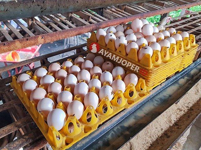 telur-ayam-arab-min