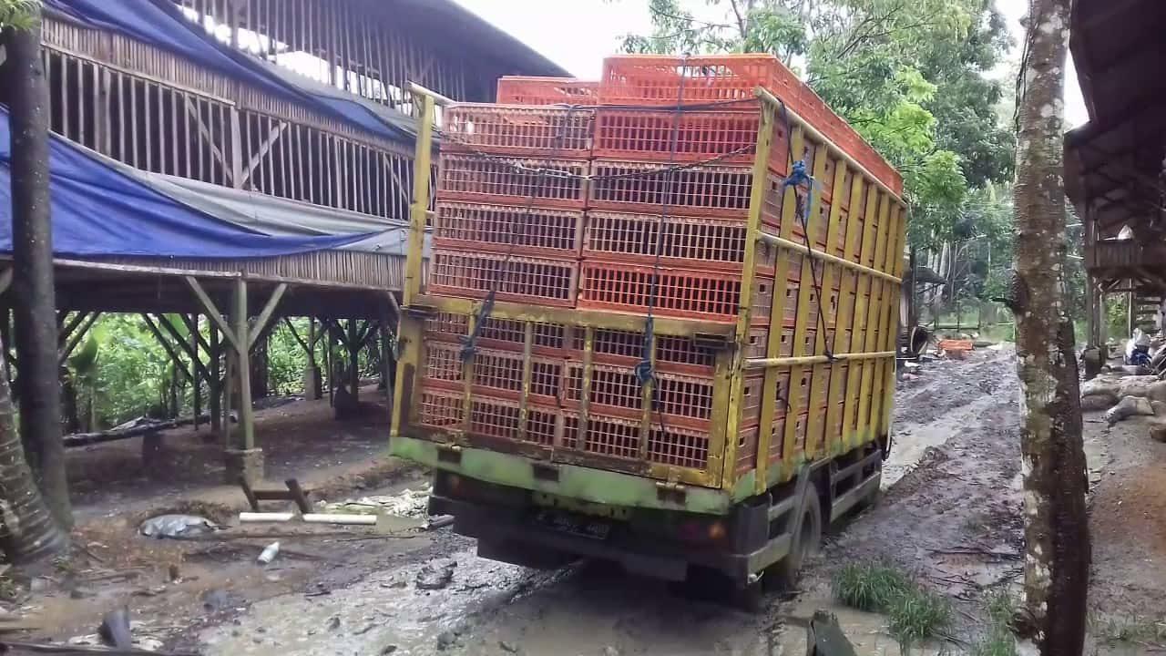 truk-muat-ayam-joper-siap-panen-min-6846019