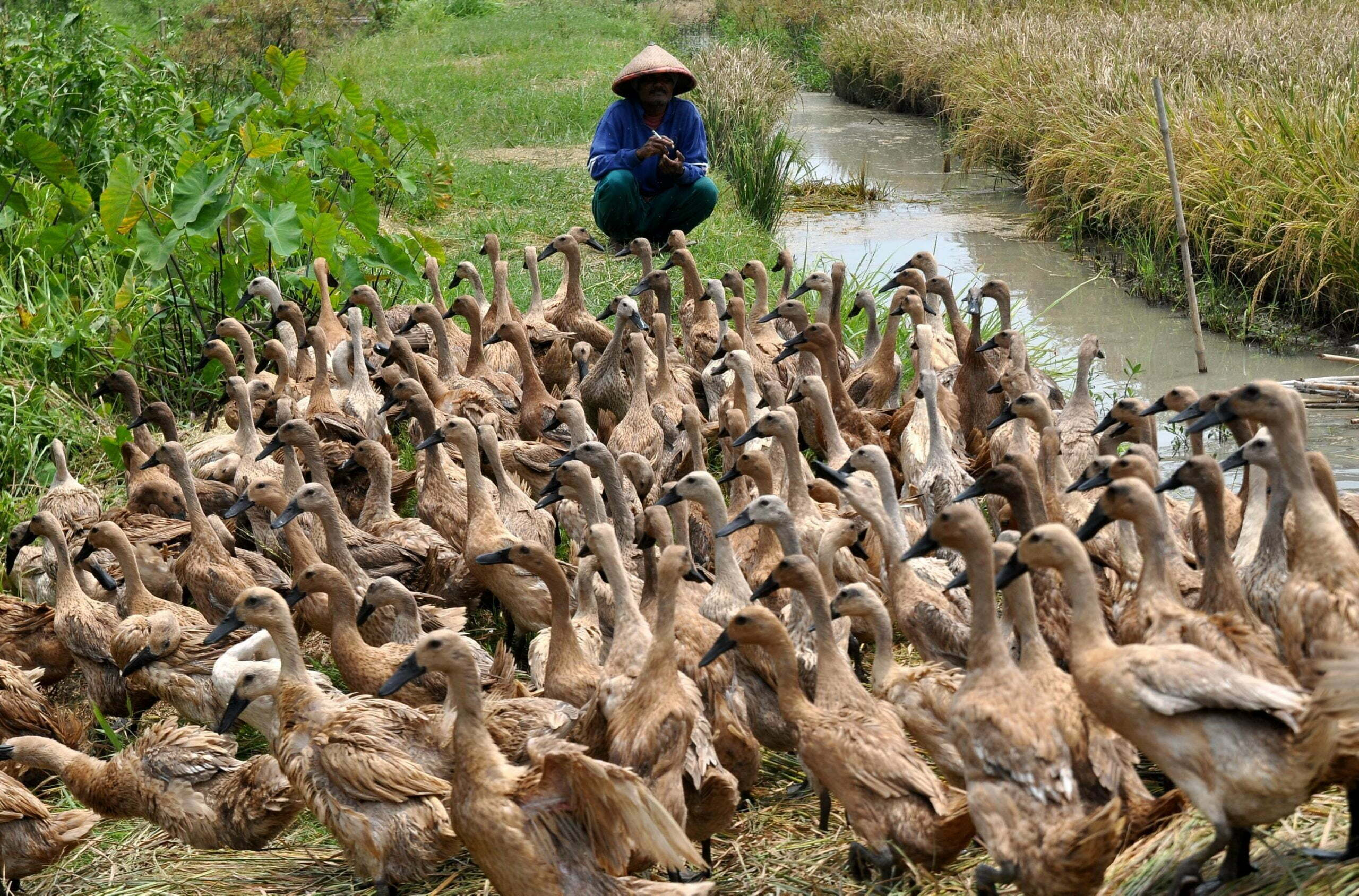 seorang-peternak-bebek-berpindah-menggembala-bebek-piaraannya-di-persawahan-desa-pucangrejo-pegandon-kendal-jateng