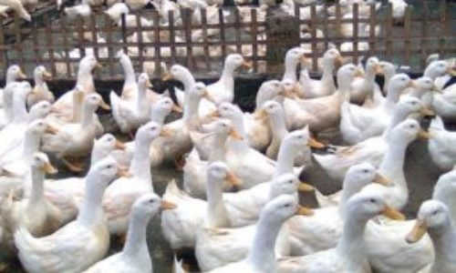 √ Jual DOD / Bibit Bebek Peking : Murah, Berkualitas dan Bergaransi
