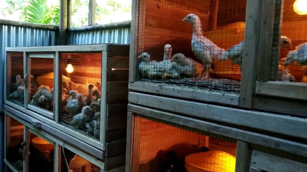 cara-merawat-ayam-joper-setelah-pengiriman-6790653