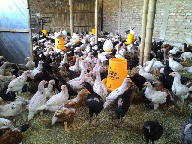 ayam-joper-umur-1-bulan-2695409