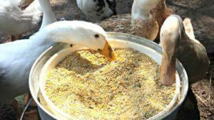 bebek-makan-1-1-300x169-1301865