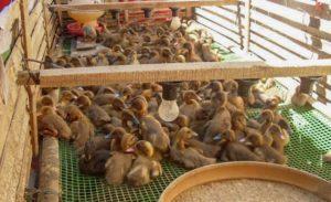 beternak-bebek-petelur-dengan-benar-min-300x183-3136517