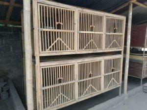 contoh-kandang-ayam-pelung-jantan-dewasa-300x225-1416378