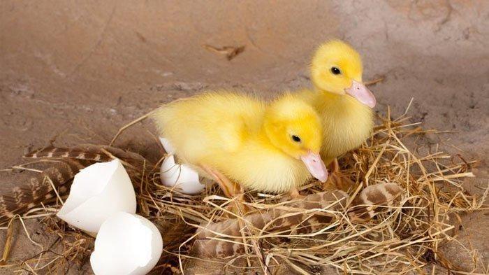 ilustrasi-telur-bebek-menetas-7040074